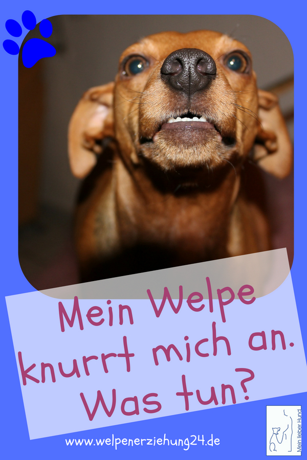 Welpe Knurrt Andere Hunde An