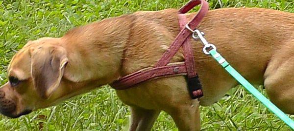 Sind Beagle erziehbar?