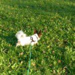Joy rennt auf der Wiese