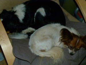 Hunde ruhen und schlafen