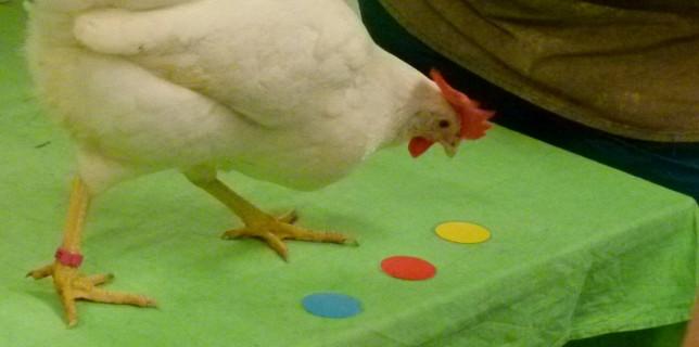Positive Verstärkung funktioniert auch bei Hühnern